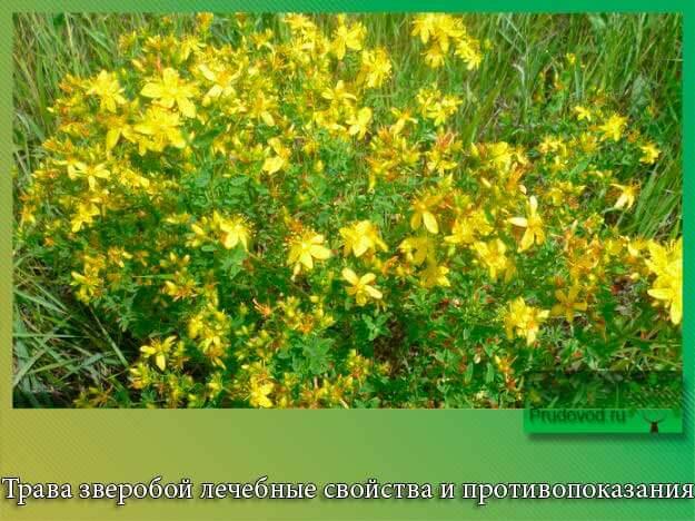для термобелья зверобой трава лечебные свойства и противопоказания для женщин зависимости