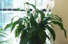 Женское счастье – как ухаживать за растением с великолепным цветением