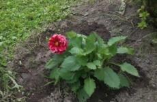 Сказочный георгин – хитрости выращивания изысканных цветов