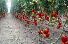 Новинка для огородников – детерминантные сорта помидоров