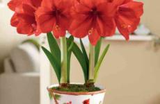 Великолепный амариллис – все тонкости выращивания