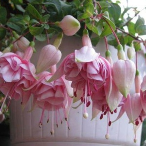 Фуксия – любимое растение ленивого цветовода
