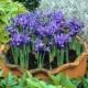 Хитрости выращивания изумительных ирисов