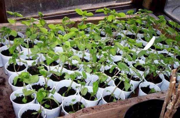Годеция выращивание из семян когда сажать фото 48