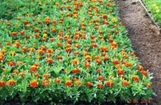 Выращиваем бархатцы – неприхотливое растение с большим количеством достоинств