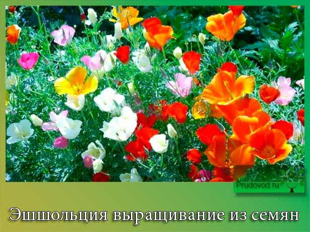 Эшшольция выращивание из семян