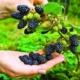 Все секреты выращивания ежевики садовой