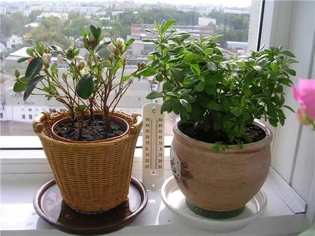 Азалия уход в домашних условиях: секреты выращивания растения