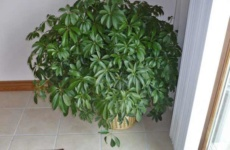 Выращивание пышной гостьи из тропиков – шефлеры