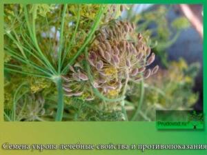 семена укропа свойства отзывы