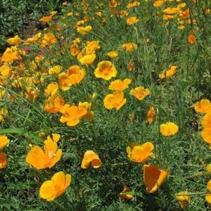 Эшшольция – золотое сияние в вашем цветнике, выращенное из семян