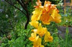 Фрезия – восхитительное цветение в вашем цветнике
