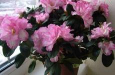 Как удовлетворить все прихоти капризной азалии, чтобы насладиться восхитительным цветением