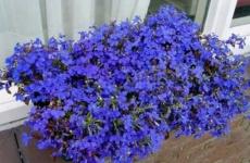 Скромная лобелия – яркое украшение вашего сада