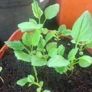 Выращивание рассады астры и несколько основных требований ухода