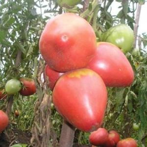 Правильный выбор каждого огородника – томат Розовый мед