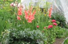 Гладиолусы – все секреты ухода для восхитительного цветения