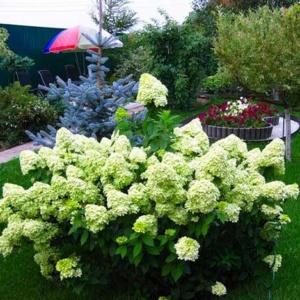 Гортензия метельчатая: тонкости выращивания и ухода
