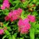 Секреты выращивания спиреи японской