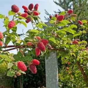 Тонкости выращивания малинового дерева