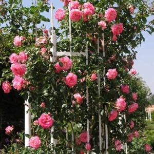 Плетистые розы: изысканные красавицы на участке