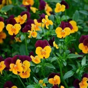 Анютины глазки – цветы из детства