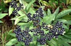 Бузина черная – как вырастить роскошный куст