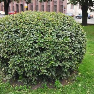 Кизильник блестящий— украшение вашего сада
